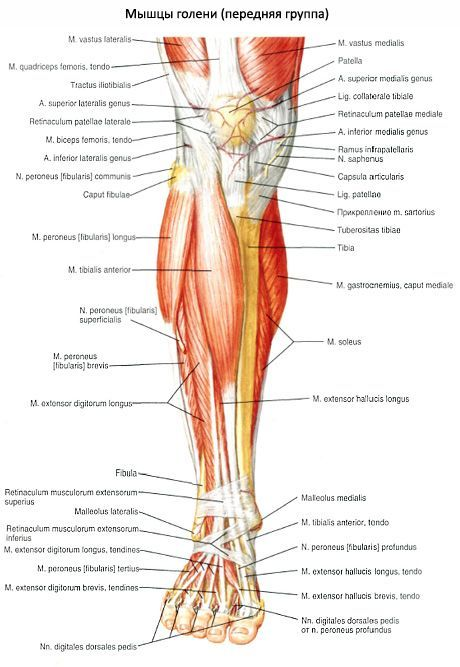 Músculos de la pierna | Competente sobre la salud en iLive