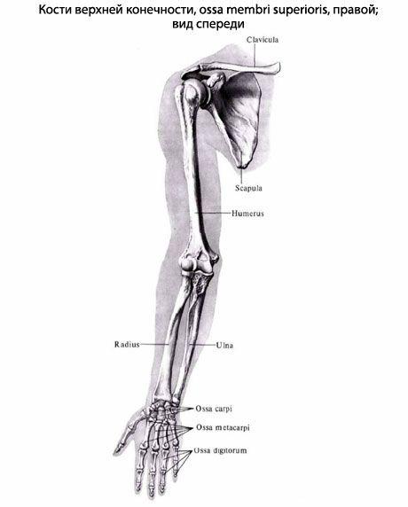 Huesos de la extremidad superior | Competente sobre la salud en iLive