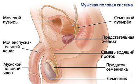 Anatomía y fisiología del sistema reproductivo masculino ...