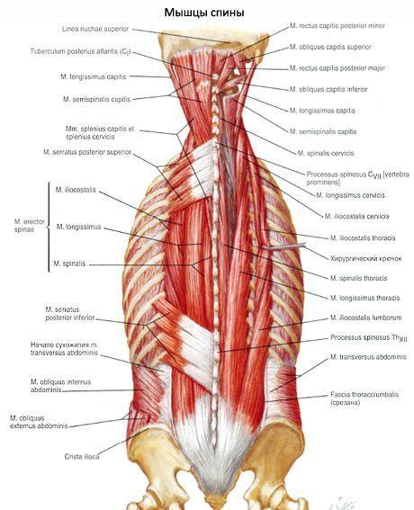 Músculos de la espalda   Competente sobre la salud en iLive