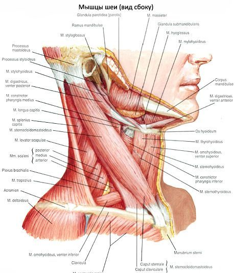 Músculos del cuello | Competente sobre la salud en iLive