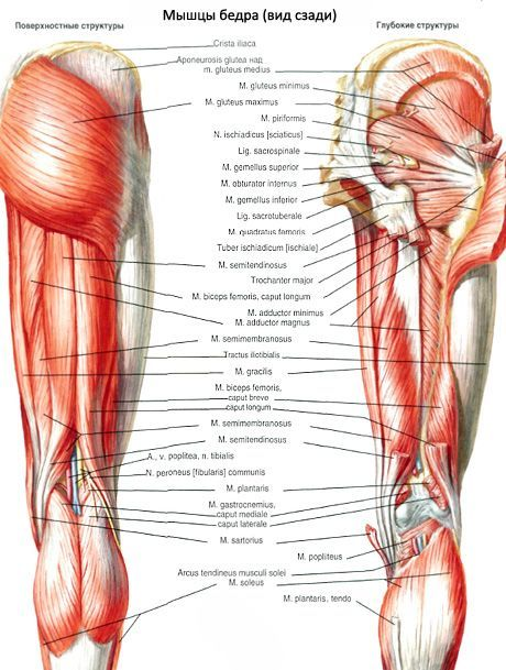 Músculo cuadrado del muslo | Competente sobre la salud en iLive