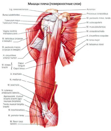 Músculos del hombro | Competente sobre la salud en iLive