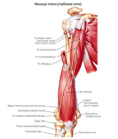Músculo del hombro | Competente sobre la salud en iLive