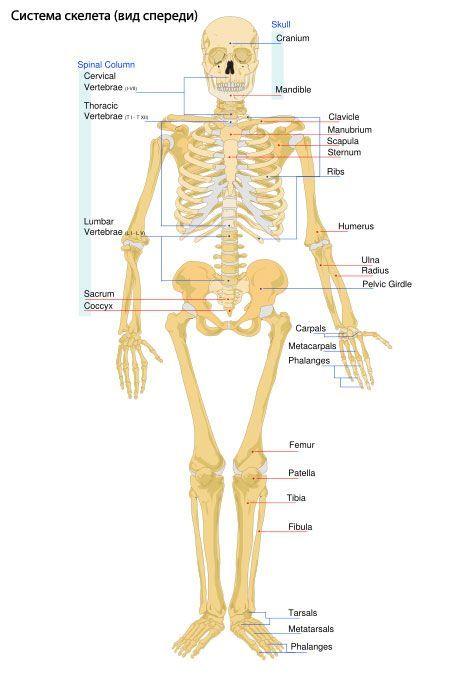 Esqueleto de las extremidades | Competente sobre la salud en iLive