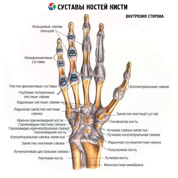 Articulaciones de los huesos de la mano | Competente sobre la salud ...