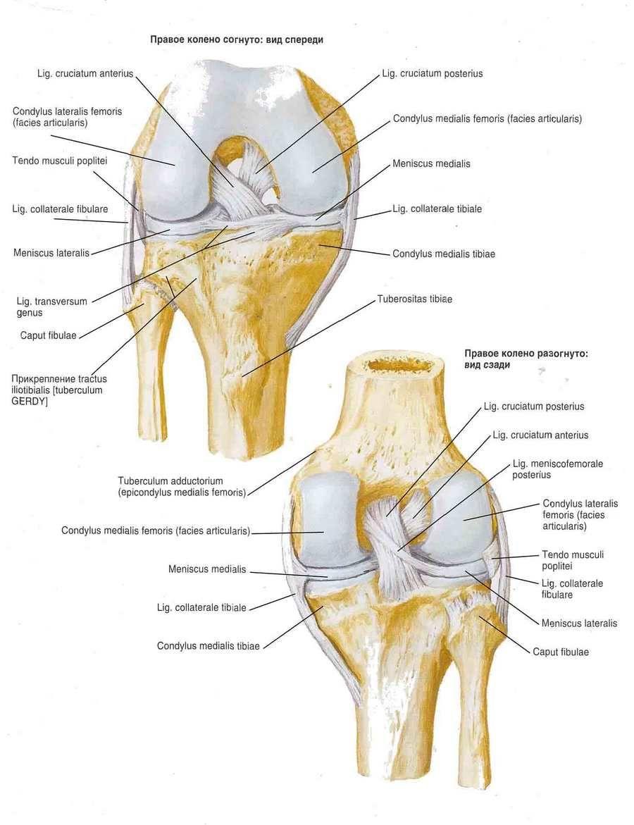 Articulación de rodilla | Competente sobre la salud en iLive
