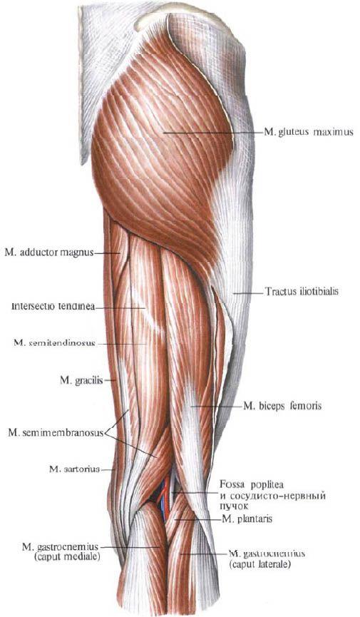 Músculos glúteos | Competente sobre la salud en iLive