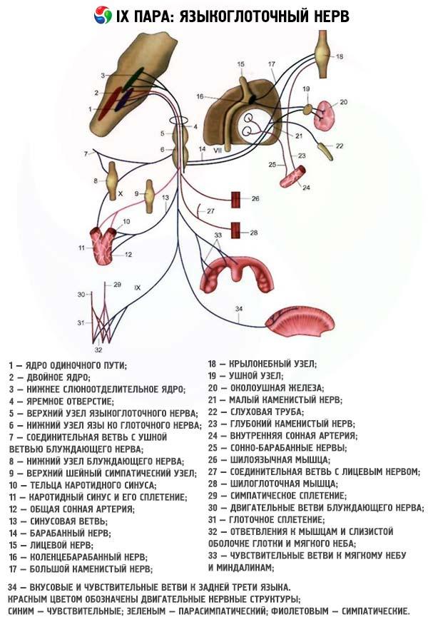 Investigación de nervios craneales. Pares IX y X: nervios ...