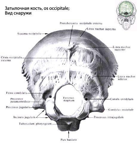 Hueso occipital | Competente sobre la salud en iLive