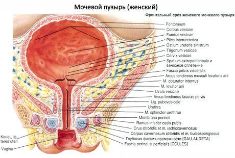 Uretra femenina | Competente sobre la salud en iLive